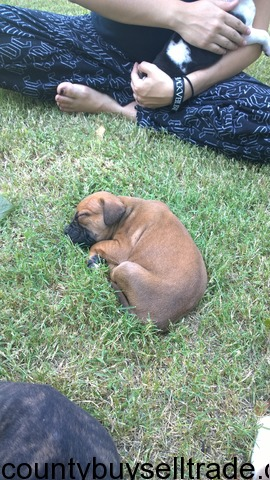 Blue Brindle Pitbull/American Bulldog Puppies for Sale in Ft