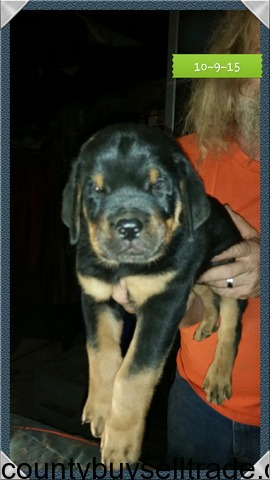 Akc German Rottweiler Pups In Iola Grimes Texas Erath County Buy